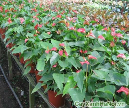 cây tiểu hồng môn 3