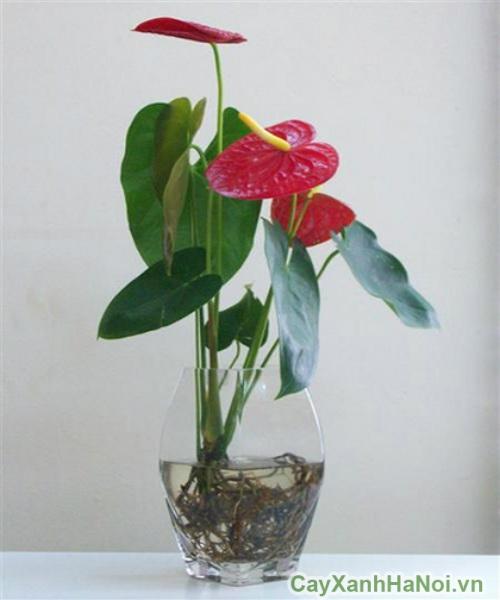 cây tiểu hồng môn 4