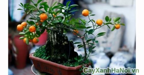 cay-bonsai-may-man-6
